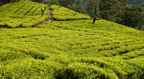 Tea plantation. View on a tea plantation in indian Ooty stock photo
