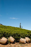 Tea plantation. View on a tea plantation in indian Ooty royalty free stock photo