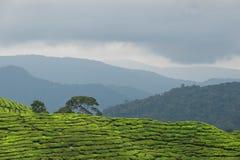 Tea plantation 3 Royalty Free Stock Photos