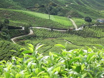 Tea Plantation. Closeup of tea plants - taken at tea plantation in Cameron Highland, Malaysia Stock Images