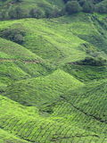 Tea Plantation. Closeup of tea plants - taken at tea plantation in Cameron Highland, Malaysia Stock Photos