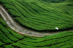 Tea plantation. Path in green tea plantation Royalty Free Stock Image