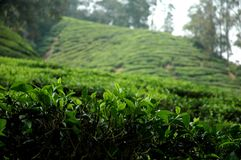 Tea plantation. In misty setting Stock Images