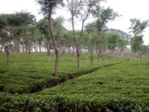 Tea Plantation. In asia Royalty Free Stock Images