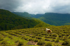 Tea plantation. A cow on the tea plantation royalty free stock photo