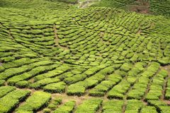Tea plantation Stock Image