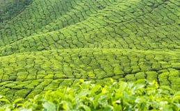 Free Tea Plantation Royalty Free Stock Photos - 52190778