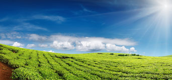 Tea plantation. And blue sky Royalty Free Stock Image