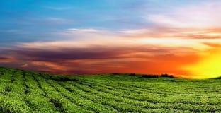 Tea plantation. In Uganda, colorful sunrise Royalty Free Stock Photo