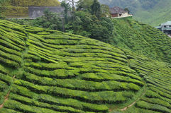 Tea plantation. A hill side tea plantation stock image