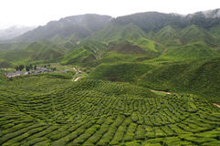 Tea plantation. A hill side tea plantation stock images