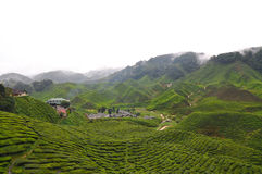 Tea plantation. A hill side tea plantation royalty free stock images