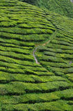 Tea plantation. A hill side tea plantation Stock Photo