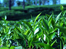 Tea plantation. This is the pure sri lankan tea, cultivated in high mountains Stock Photo