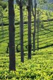 Tea plantation. In India at Ooty Royalty Free Stock Photos