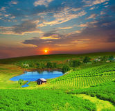 Tea plantation. On central highland in Vietnam Stock Photos