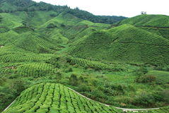 Tea Plantation. At Cameron Highlands, Malaysia Stock Photo