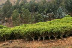 Tea plantation in africa Stock Photography