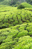 Tea plantation agriculture Royalty Free Stock Image