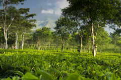 Tea plantation with Arjuno volcano at the backround Royalty Free Stock Photography