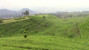 Tea plantation around Bandung stock video footage