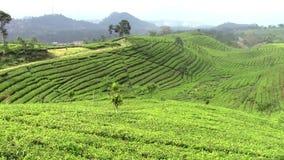 Tea plantation around Bandung stock footage