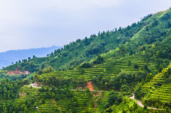 Tea plantation around the  mountains in China Royalty Free Stock Image