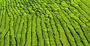 Tea plantation as a background Stock Photo