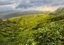 Tea Plantation in Asia Royalty Free Stock Photography