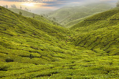 Tea Plantation in Asia Stock Photos