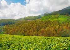 Tea Plantation in Asia Stock Image