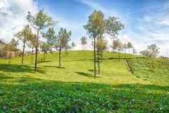 Tea Plantation in Asia Stock Images