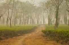 Tea plantation. On assom India Stock Image