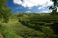 A tea plantation in the Azores archipelago Portugal Royalty Free Stock Image