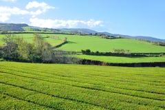 Tea Plantation, Azores Islands Stock Images