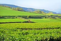 Tea Plantation, Azores Islands Royalty Free Stock Image