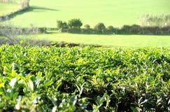Tea Plantation, Azores Islands Stock Photo