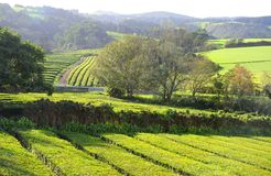 Tea Plantation, Azores Islands Stock Images