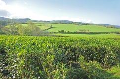 Tea Plantation, Azores Islands Royalty Free Stock Photography