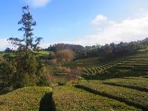 Tea plantation, Azores Stock Image