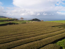 Tea plantation, Azores Stock Images