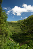 Tea plantation in the Azores Stock Images
