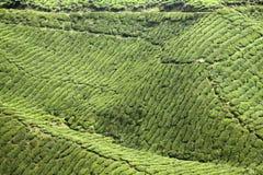 Tea plantation backgound Royalty Free Stock Photo