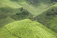 Tea plantation background Stock Image