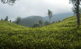 Tea Plantation in Bandung Royalty Free Stock Photography