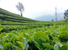 Tea plantation, Bandung Indonesia Stock Photo