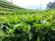 Tea plantation at Bandung Indonesia. Tea leaves. Tea plantation at Bandung Indonesia Royalty Free Stock Photos