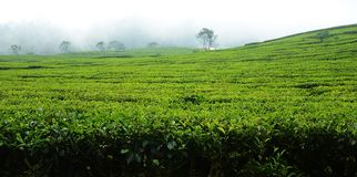 Tea Plantation in Bandung Indonesia. Tea Plantation in Bandung, Indonesia on a misty morning Stock Photos