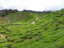 Tea Plantation. The beauty of tea plantation royalty free stock image