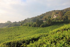 Tea plantation. Best Tea plantation in Cameron highlands best of Malaysia Stock Images